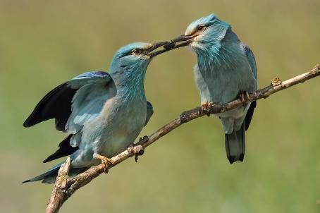 Blauwe scharrelaars