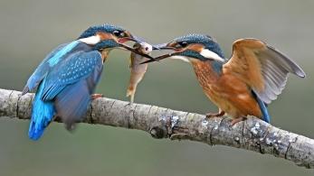 Ijsvogels tesamen