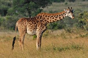 Kenia Giraf