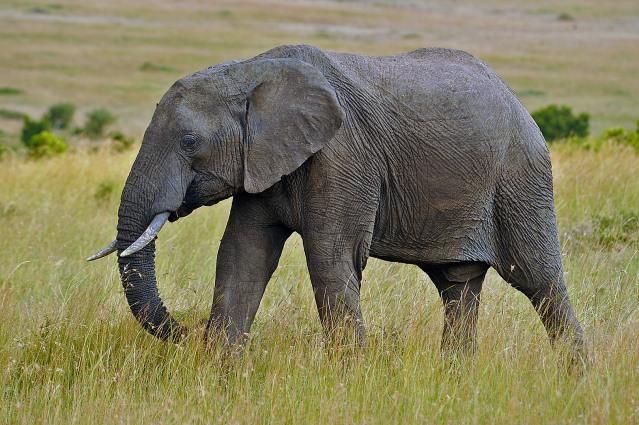 Kenia Olifant