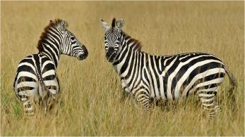 Kenia Zebras